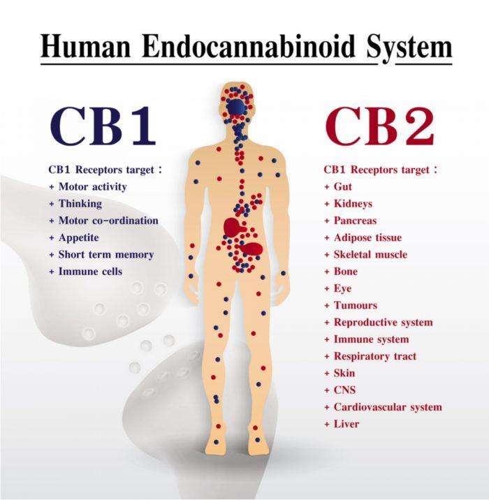 cannabis, arthritis pain relief, cannabinoids, arthritis, rheumatoid arthritis, osteoarthritis, CBD, THC, cannabinoid receptors, CB receptors